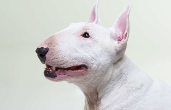 Why Is It A Good Idea To Purchase Bull Terrier Puppies This Year?