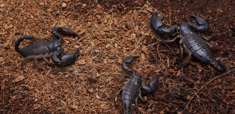 Why Baby Scorpions In A Home Must Be A Cause For Alarm